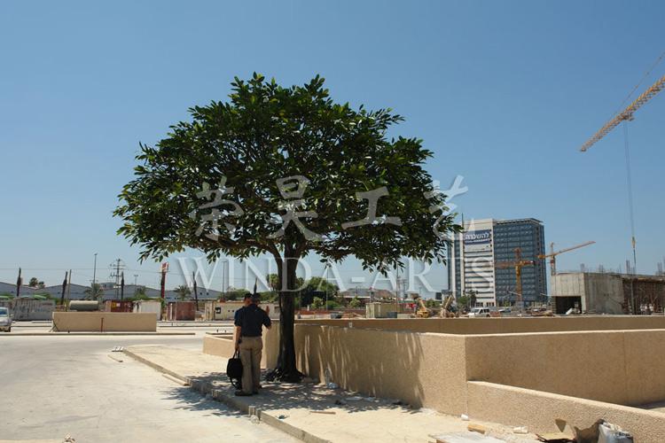 Israel Tel Aviv - Big leaf banyan tree